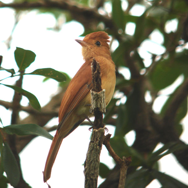 Rufous Casiornis, Brazil, Dec 2007 (Andy Marshall)