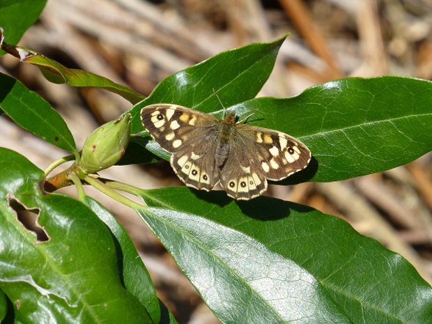 a speckled wood pararge aegeria.jpg