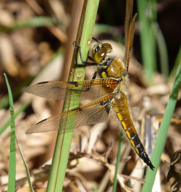 mw 2four-spotted chaser libellula quadrimaculata.1jpg.jpg