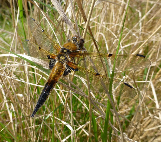 mw 3four-spotted chaser libellula quadrimaculata.jpg