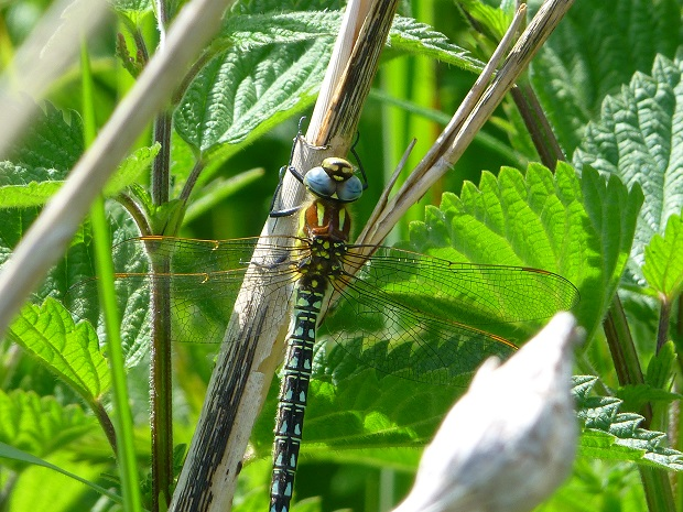 mw hairy dragonfly male bank top.jpg