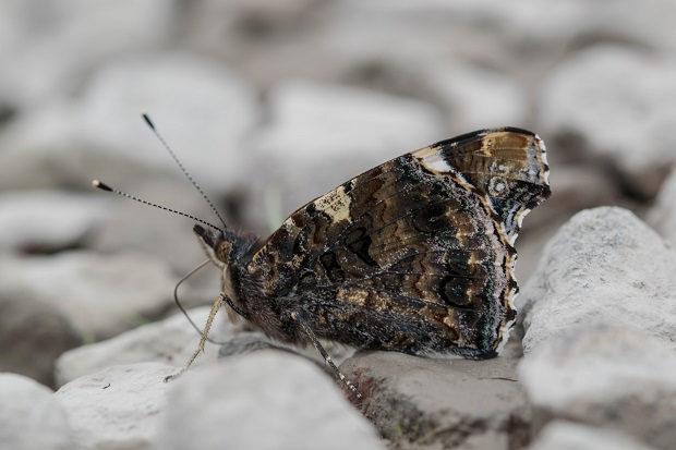 mw red admiral.jpg