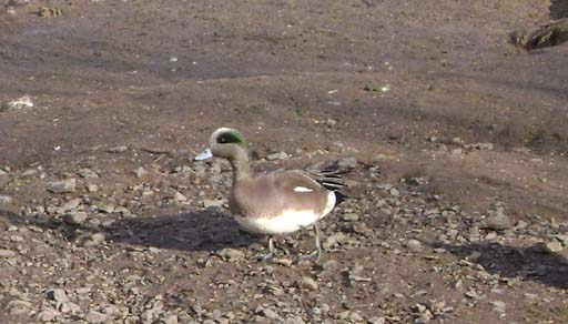 American Wigeon, Caerlaverock 18th Feb 2010