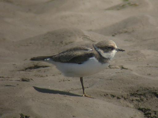 Little Ringed Plover: Anthorn, Cumbria, July 2004 (Tristan Reid)