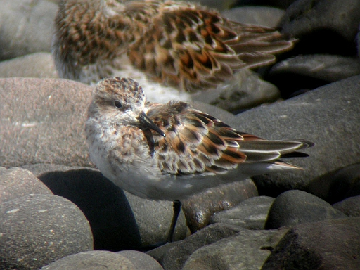 Little Stint: Bowness Railings, May 2004 (Tristan Reid)