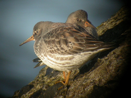Purple Sandpiper, Workington, Cumbria, April 2004 (Tristan Reid)