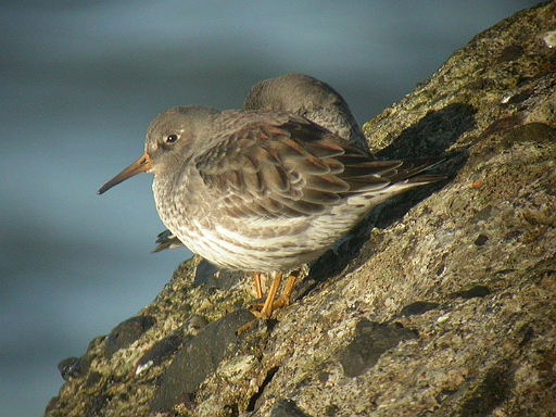 Purple Sandpiper, Workington, Tristan Reid Cumbria, April 2004
