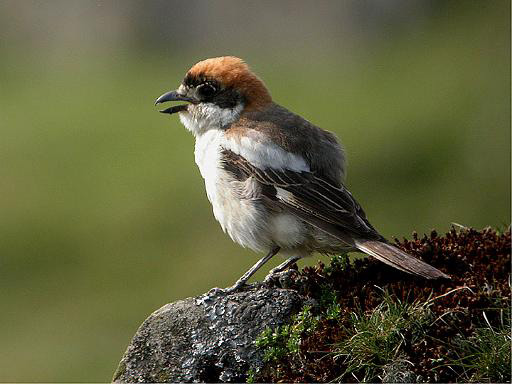 Woodchat Shrike, Torver Common, Cumbria, May 2006 (Tristan Reid)