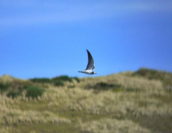 Black Tern, Gwithian Green 30.08.10 (Justin Carr)
