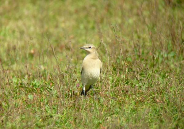 Wheatear, Marazion Marsh 1, 30.08.10 (Richard Collis)