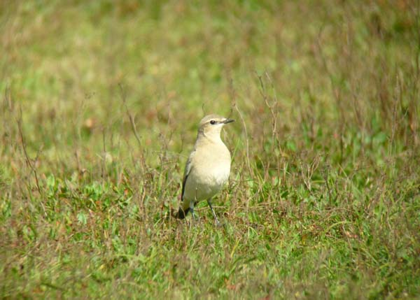 Wheatear, Marazion Marsh 2, 30.08.10 (Richard Collis)