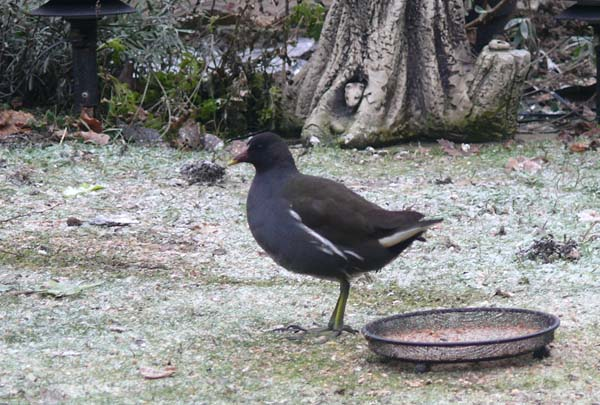 Moorhen 19.12.10 (Clive Featherstone)