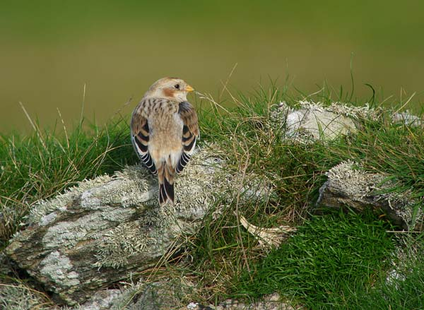 Snow Bunting 1, Bardsey Island, October 2010 (Justin Carr)