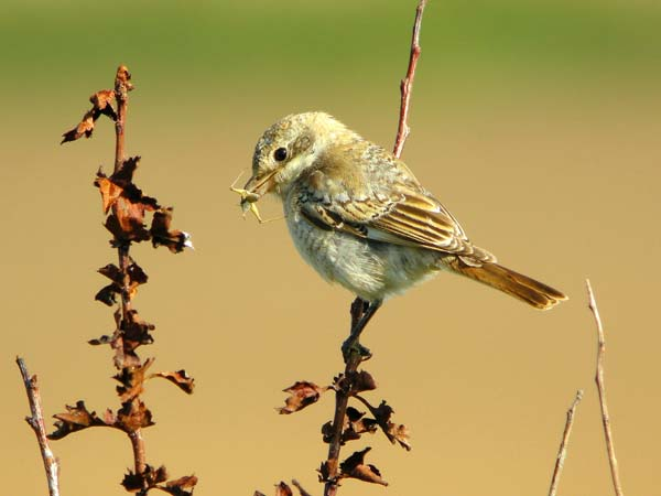 Woodchat Shrike, Sammys Point, September 2009 (Justin Carr)