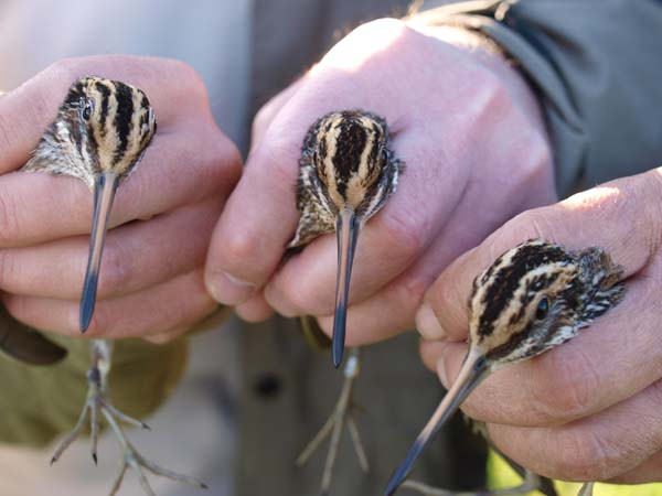Jack Snipe x 3, Lower Derwent Valley late October 2010 (Steve Hiner)