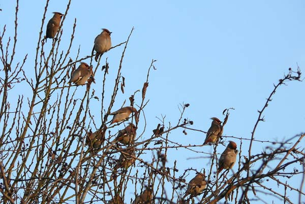 Waxwings, Goole 31st January 2011 (Clive Featherstone)