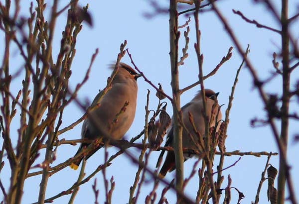 Waxwings (2), Goole 31st January 2011 (Clive Featherstone)