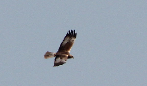 marsh harrier 21.04.11(rw)