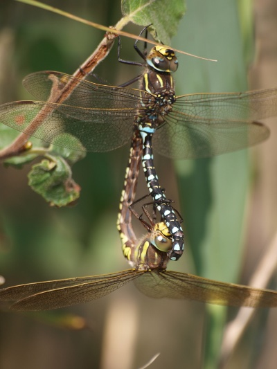 common hawker (3) steve hiner.jpg