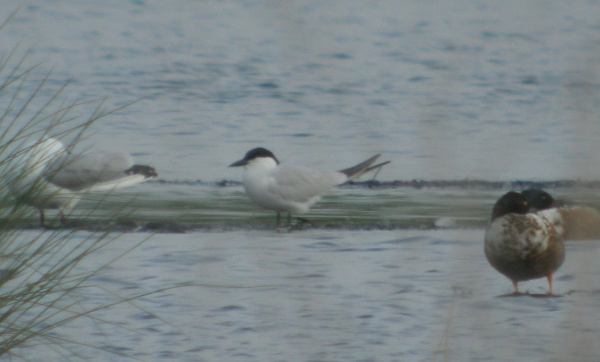 gull billed tern, thorne moors, 30th may 2012 032.jpg