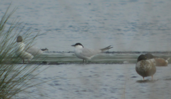 gull billed tern, thorne moors, 30th may 2012 034.jpg