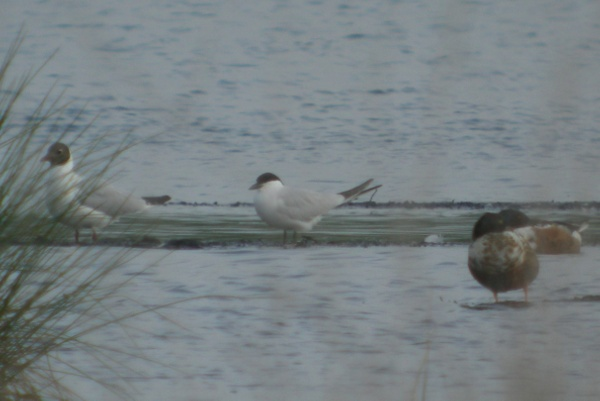 gull billed tern, thorne moors, 30th may 2012 038.jpg