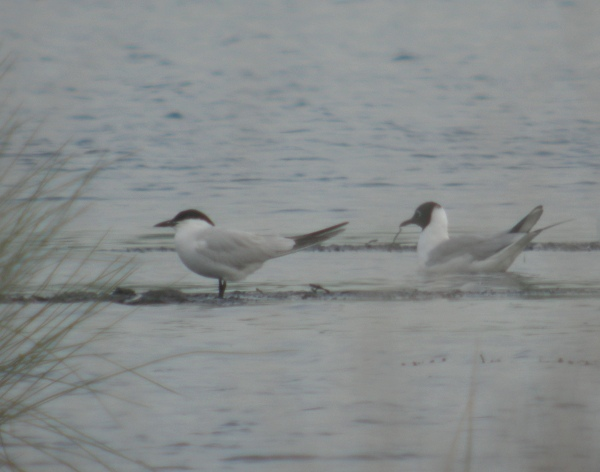 gull billed tern, thorne moors, 30th may 2012 071.jpg