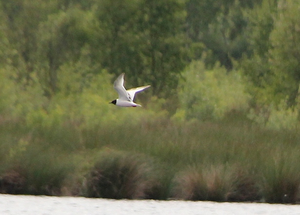 little gull2.jpg