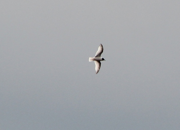 little gull4.jpg