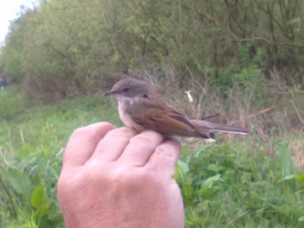 whitethroat (2).jpg