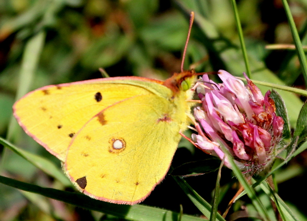 clouded yellow.jpg
