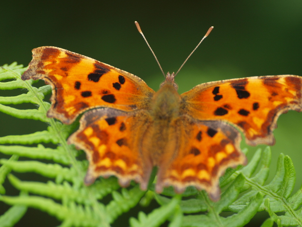 comma, polygonia c album. s hiner.jpg