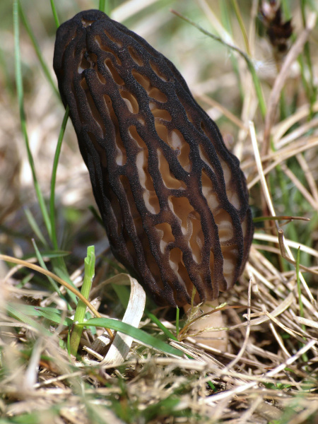 common morel, s. hiner.jpg