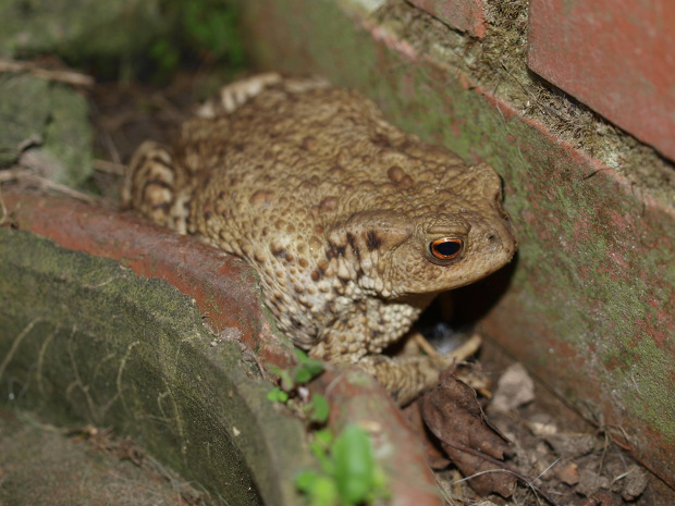 common toad, bufo bufo. steve hiner.jpg