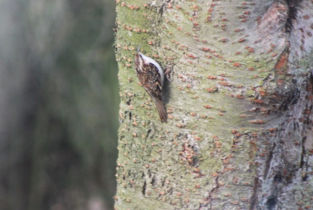 dr tree creeper.jpg