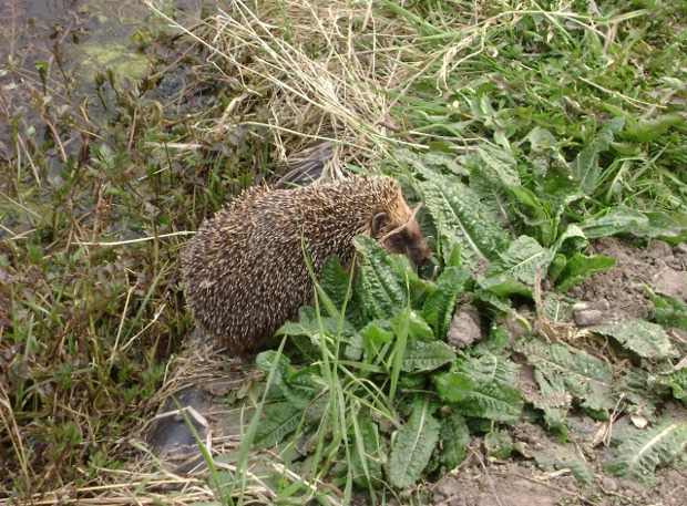 hedgehogcamera 003.jpg