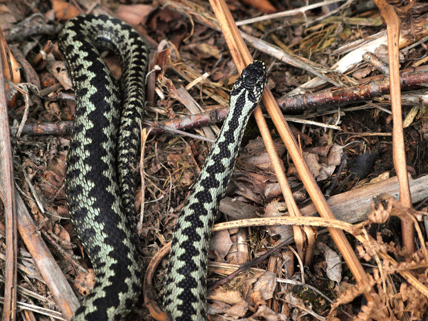 male adder, s. hiner.jpg