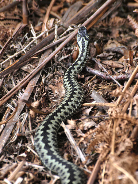 male adder, steve hiner.jpg