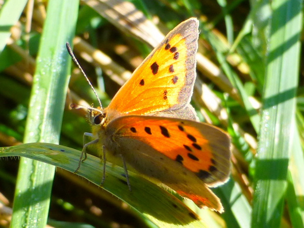 mw small copper lycaena phlaeas.jpg