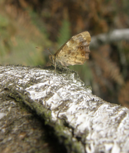 speckled wood , s hiner.jpg